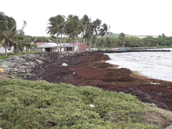 Algues sargasses : la commune du Vauclin peine à gérer l'échouage