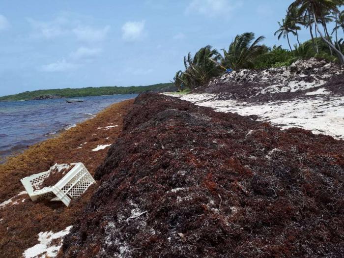 Algues sargasses à Sainte-Anne : deux restaurants et un loueur de matériel nautique fermés depuis 3 mois
