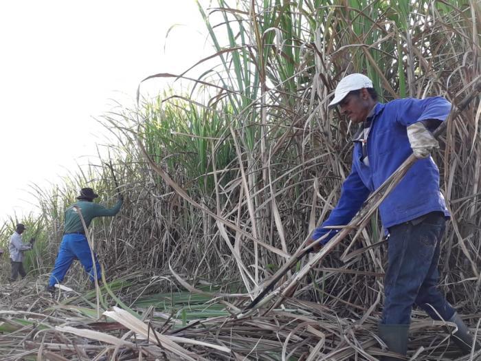 Au cœur de la récolte de la canne à sucre