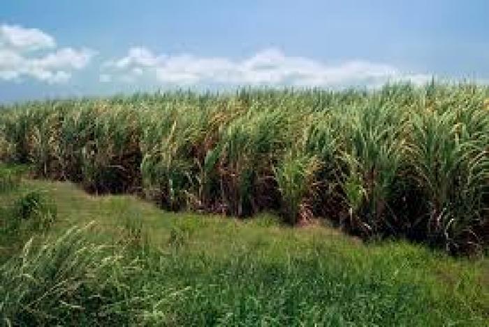 C'est parti pour la récolte de la canne à sucre  !