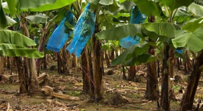 Chrlodécone : les agriculteurs tirent la sonnette d'alarme