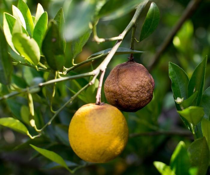 Citrus greening : une aide financière pour les producteurs d'agrumes