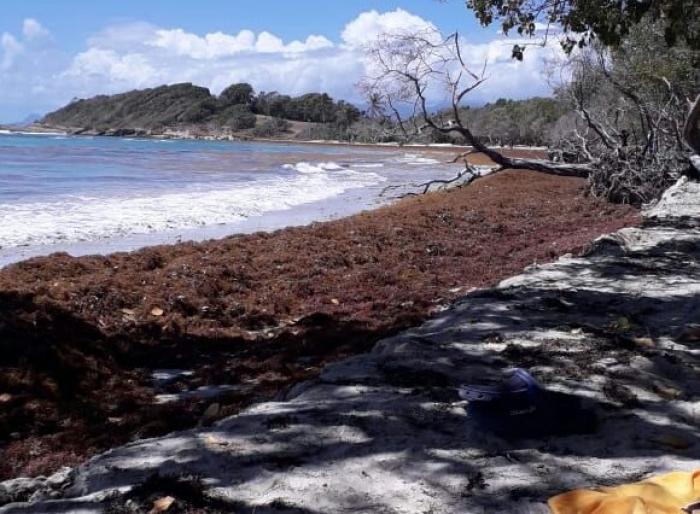 De nombreux bancs de sargasses envahissent les côtes guadeloupéennes