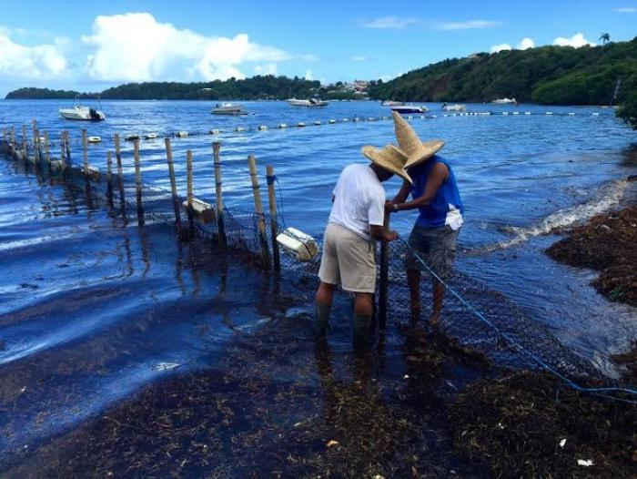 Des atteintes à la mangrove au Robert, des écologistes en colère