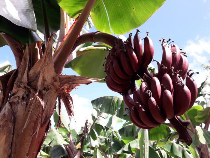 Des bananes roses utilisées dans la confection de produits cosmétiques