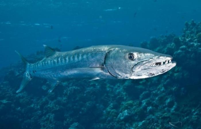 Des barracudas sont passés à l'attaque aux bains de l'îlet Fajou