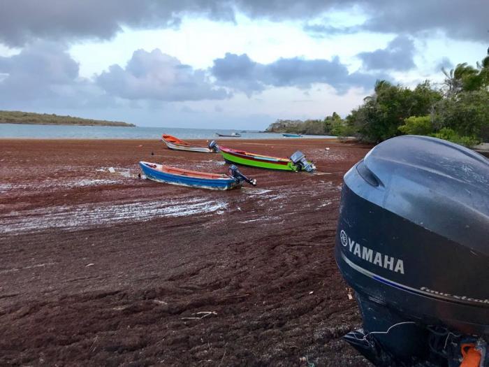 Des barrages, un bateau de ramassage... quelles solutions pour les sargasses ?