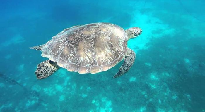 Des bénévoles recrutés par le réseau tortues marines de Martinique