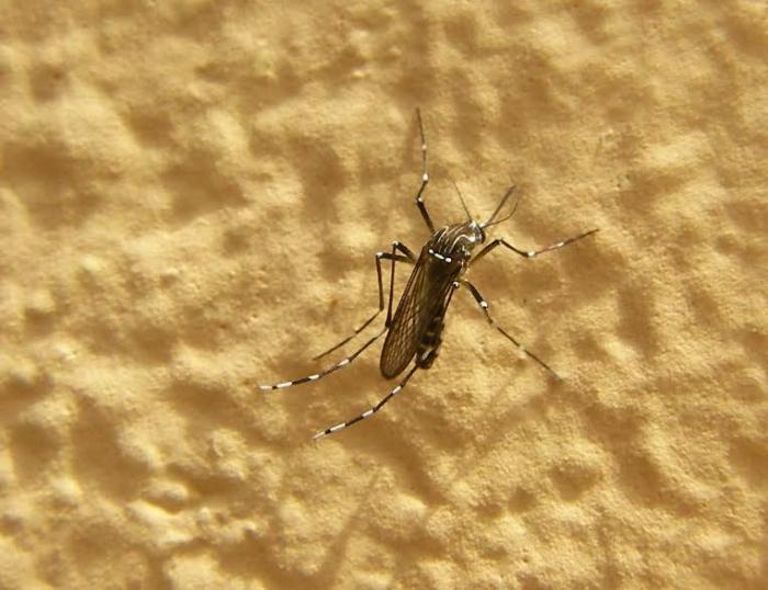 Des moustiques transgéniques introduits sur l'île de Saba