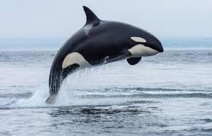 Des orques dans les eaux guadeloupéennes