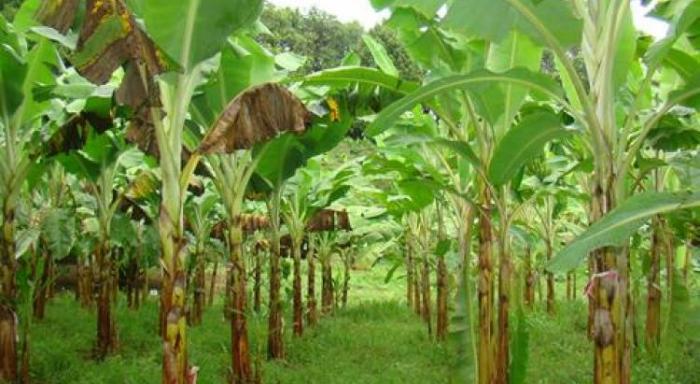 Des ouvriers agricoles du secteur de la banane mobilisés