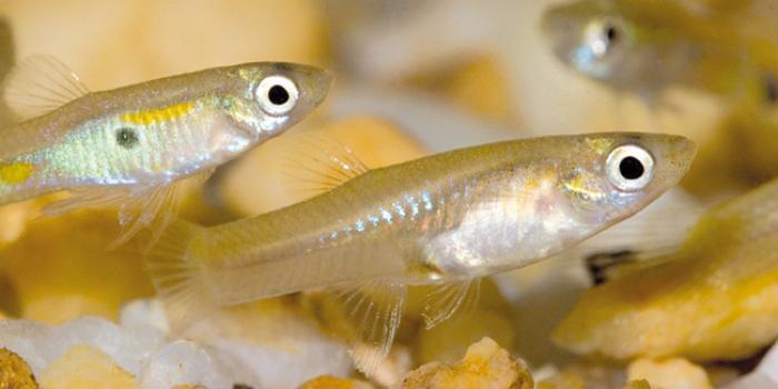 Distribution de poissons pour lutter contre les moustiques