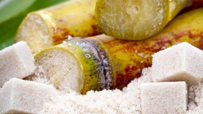 Début de la récolte de la canne à sucre pour l'usine du Galion
