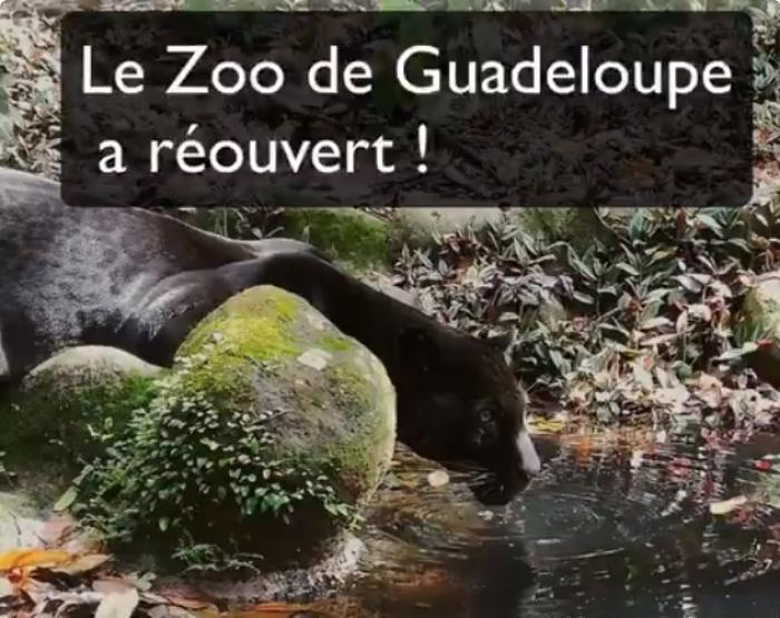 Découvrez comment le zoo de Guadeloupe a annoncé sa réouverture
