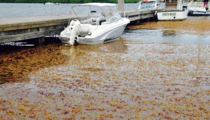 Faire face à l'invasion des algues sargasses !