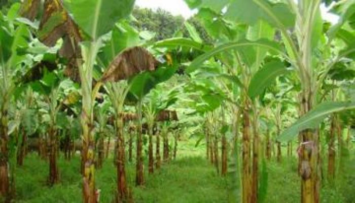 Fin de conflit dans deux plantations de bananes