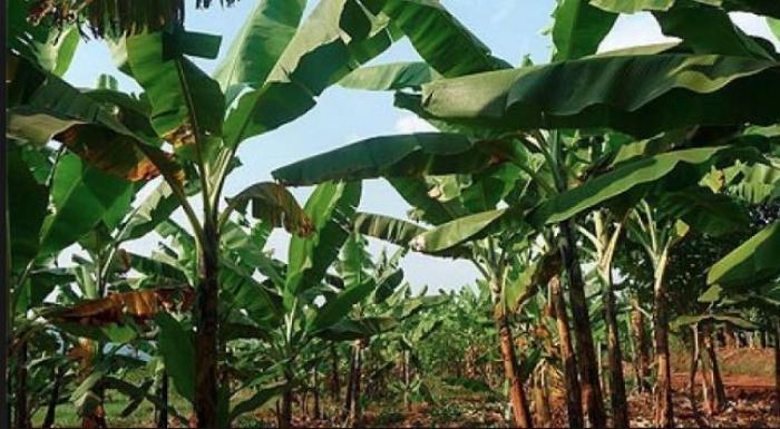 Grève des ouvriers agricoles sur les habitations bananières Bas Maryl et Bellevue Traso