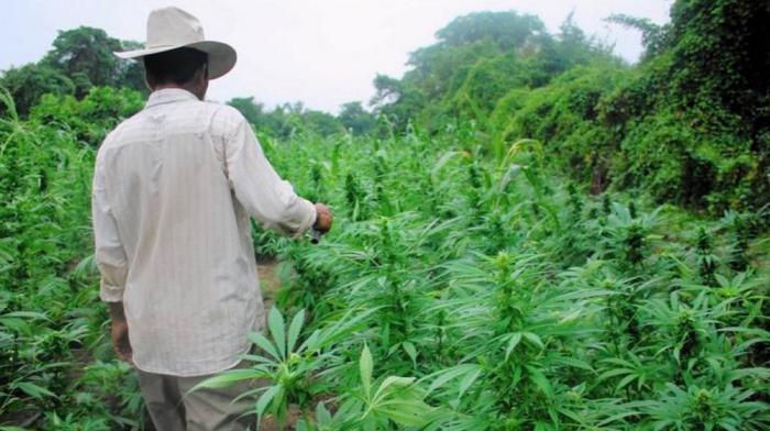 Il cultivait 205 pieds de cannabis à Petit-Bourg