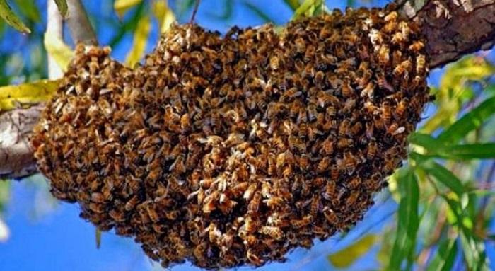 Il décède suite à l'attaque d'un essaim d'abeilles