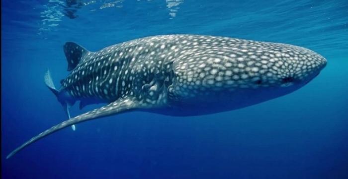 """Ils ont """"caressé"""" un requin baleine au large de la Désirade"""