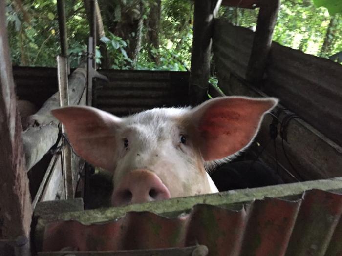 L'abattage de cochon à domicile, une tradition martiniquaise