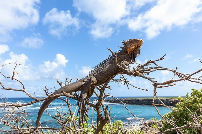L'iguane des petites Antilles en danger