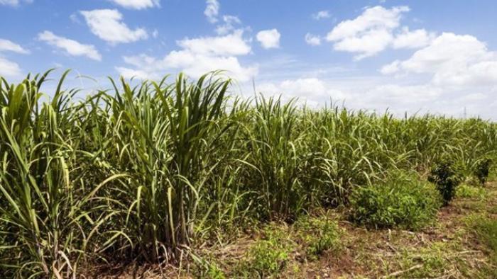 L'intersyndicale des planteurs de la filière canne inquiète