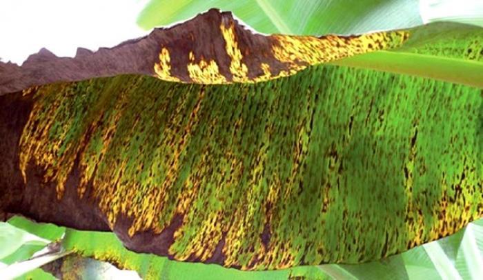 La Caraïbe pour lutter contre les maladies du Bananier