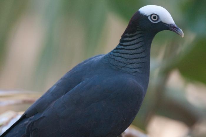La chasse au pigeon à couronne blanche interdite