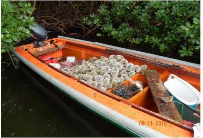 La lutte contre la pêche illicite d'oursins blancs : une yole saisie et le produit de la pêche remis à la mer