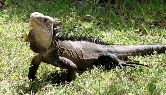 La préfecture cherche à recenser les iguanes endémiques de la Martinique