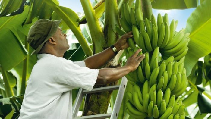 La Région au coude-à-coude avec les planteurs guadeloupéens