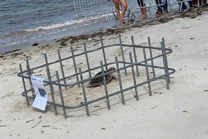 La tortue Anegada : libérée, délivrée