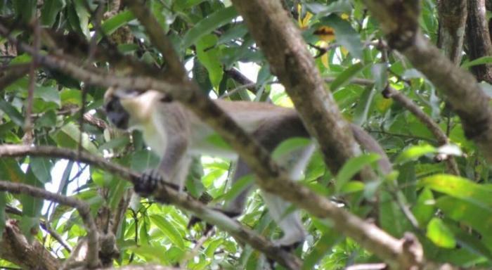 La traque des singes verts se poursuit aux Abymes