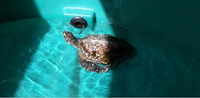 Le centre de soins des tortues réouvre à l'aquarium