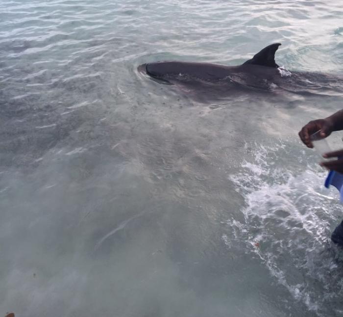 Le dauphin de l'Anse Figuier : le Réseau d'Observation des Cétacés En Martinique (ROCEM) en alerte