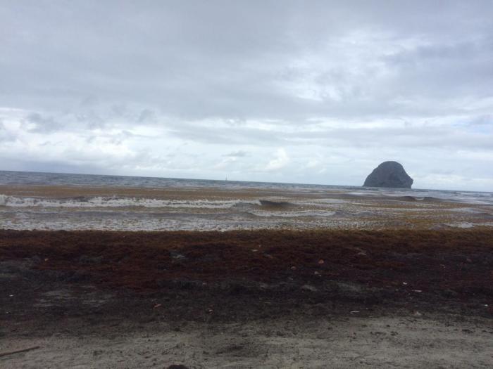 Le Diamant fait face à un arrivage massif d'algues sargasses