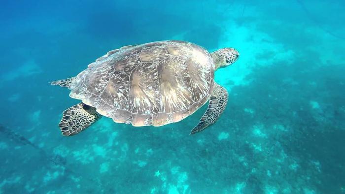 Le plan national d'actions tortues marines des Antilles Françaises reconduit pour 5 ans