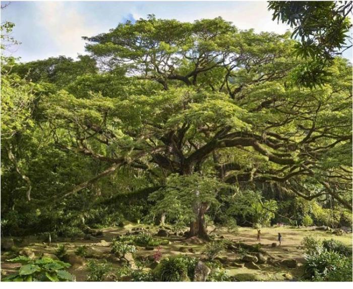 Le Zamana de l'Habitation Céron est le 4ème arbre européen 2017