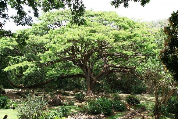 Le zamana du Prêcheur est (presque) l'arbre de l'année