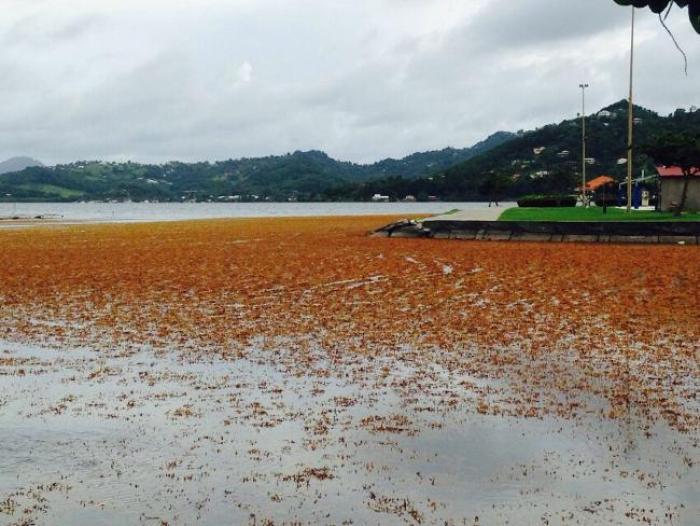Les algues sargasses sont de retour !