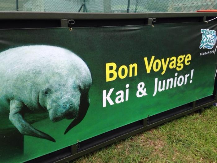 Les lamantins Kai et Junior vont bien