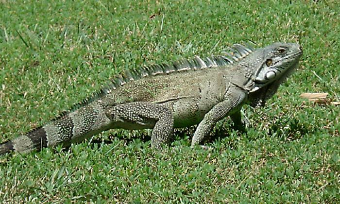 Les plans nationaux pour les iguanes et tortues marines des Antilles renouvelés