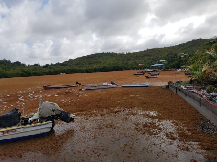 Les sargasses déferlent massivement à nouveau sur nos côtes et chez nos voisins