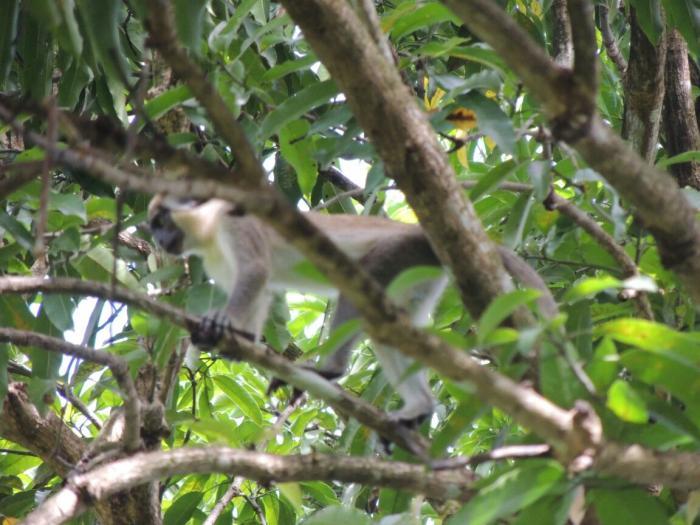 Les singes des Abymes placés sous haute surveillance