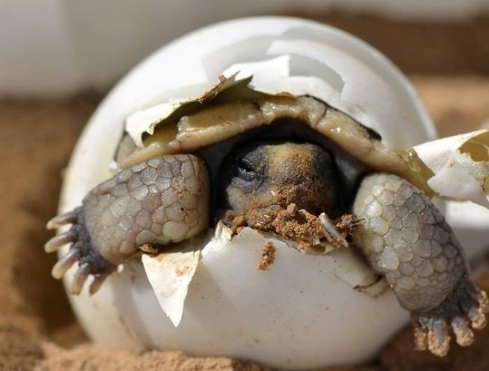 Éclosion des œufs de tortues : n'intervenez pas !