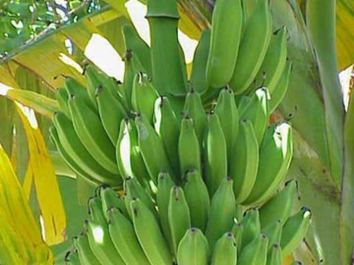 Objectif : 100 000 tonnes de bananes d'ici 2020 et 500 emplois