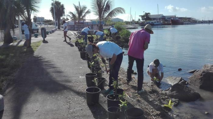 Opération de restauration de la mangrove à Bergevin
