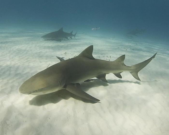 Oui, il y a bien un requin citron dans le Grand Cul de Sac Marin