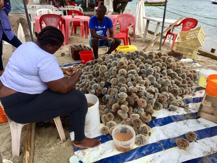 Oursins : une bonne semaine de pêche